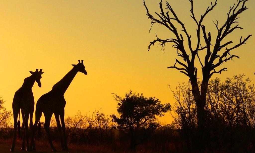 Giraffer i soloppgang