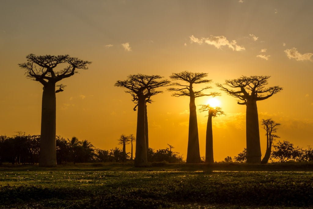 Solnedang i Baobab alléen Madagaskar