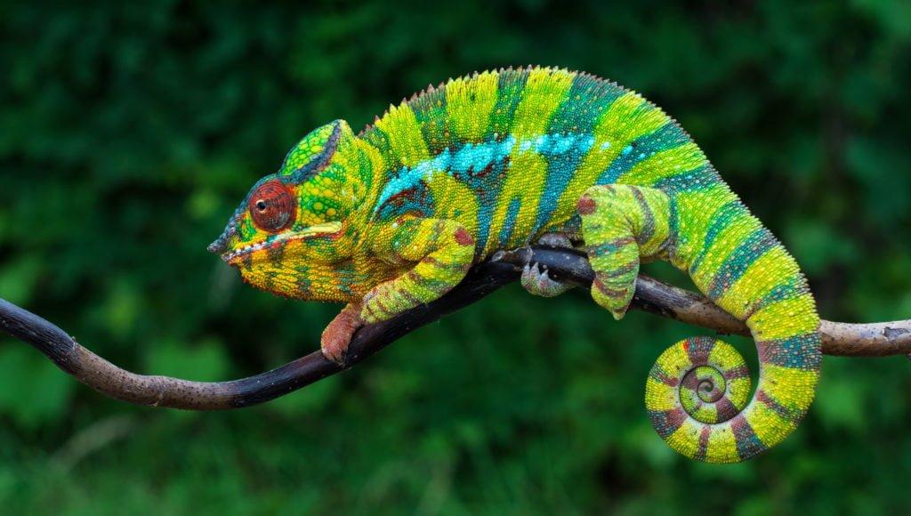 "Panterkamelon ""Furcifer pardalis Ambilobe"" fra Madagaskar"
