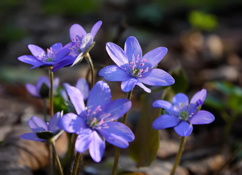 Vårens komme med blåveisen i full blomstring