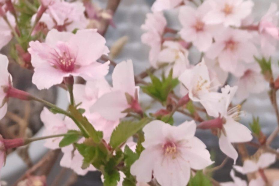 20210407 Vårblomstrende japansk kirsebærtre Foto: Ingebjørg S Thoresen