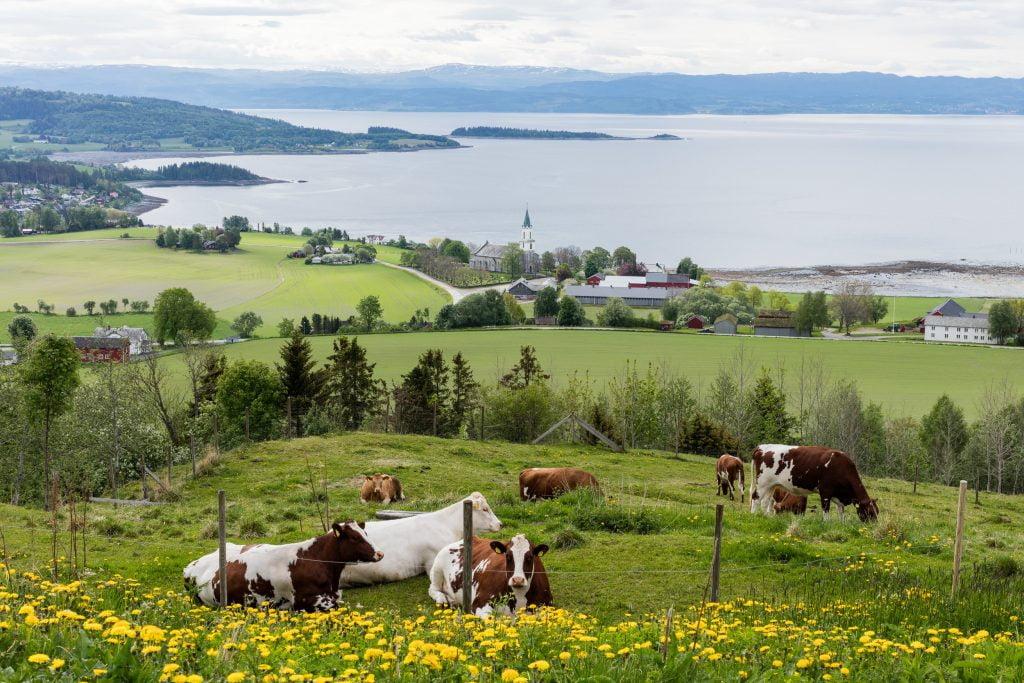 Øyna kyr Inderøy